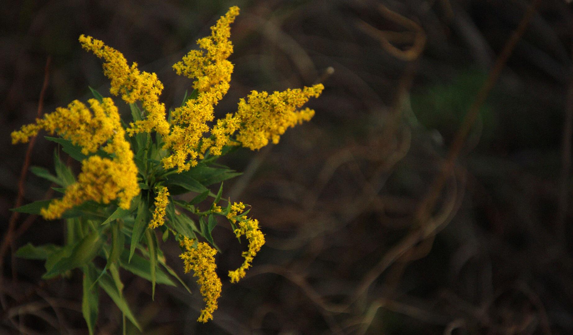 Goldendrod plant
